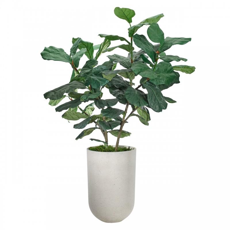 Фиговое дерево, NDI (Америка)
